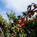 Zasad Kajsija-3.25 hektara u punom rodu
